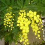 mimose6yt